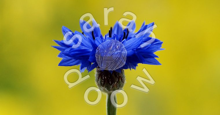 Blue cornflower – Society6 collection